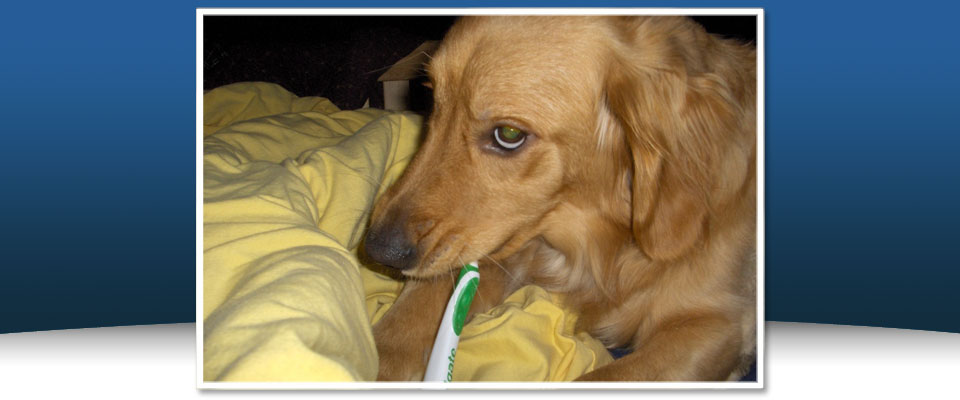 Golden Retriever getting teeth brushed