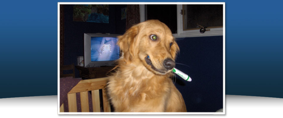 Golden Retriever with a tooth brush in mouth
